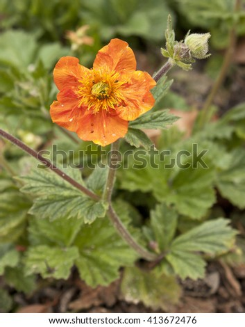 A photo of an orange avens (Geum Coccineum 'Cooky', rose family), with an open flower and a bud, on a blurred natural background in a botanical garden - stock photo