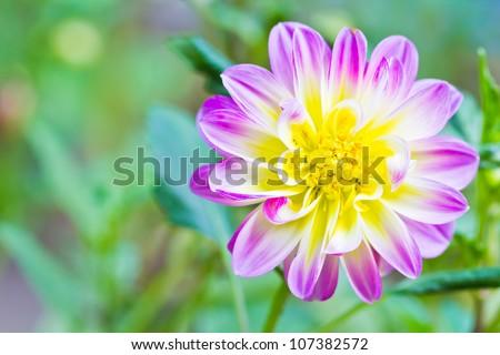 a photo of Dahlia flower in garden - stock photo