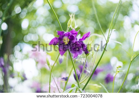 Photo purple flowers garden common names stock photo 100 legal a photo of purple flowers in a garden common names of aquilegia grannys bonnet mightylinksfo