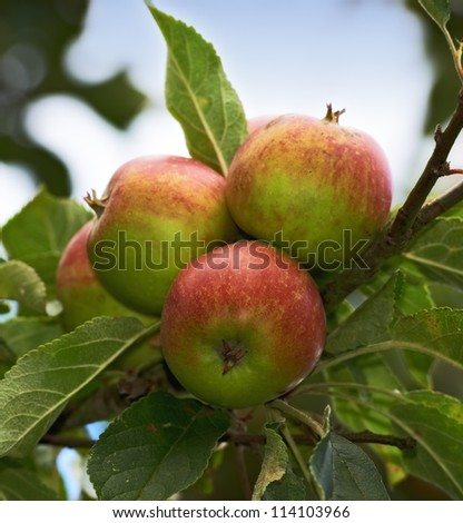 A photo of Red apples on apple tree branch - stock photo