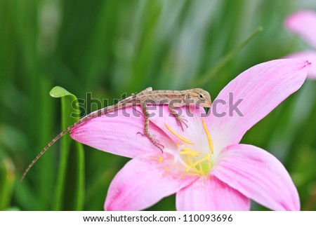 a photo of reptile on rain lily flower - stock photo