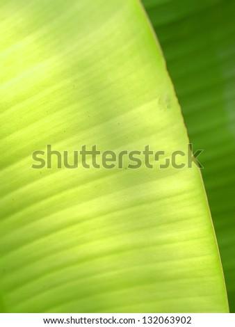 a photo of season of Banana leaves / Banana leaves background - stock photo