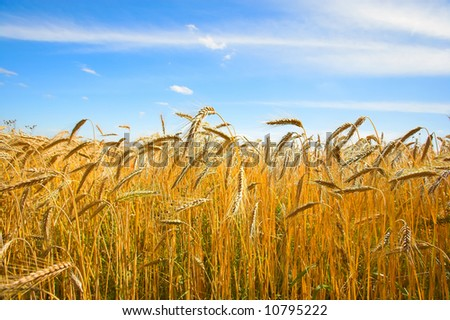 A photo of wheat in summertime - stock photo