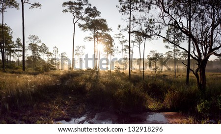 a photo sunset in dark pine forest - stock photo