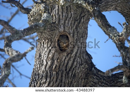 A photograph of a Oklahoma squirrel looking out a hole in a tree.