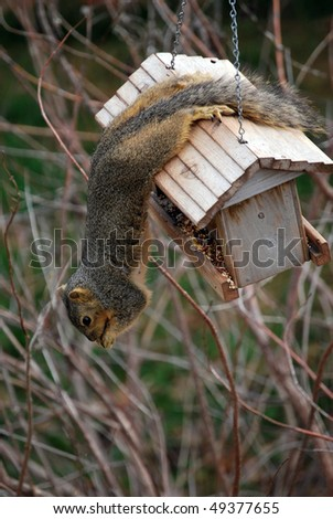 A photograph of a squirrel eating seed while hanging from a bird feeder. - stock photo