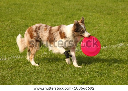 A picture of a border collie catching pink frisbee on the green grass - stock photo