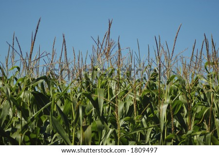A picture of a field of corn against the sky. Orientation is horizontal. Would work well for a background.