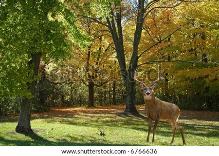 a picture of a mature buck taken in a state forest in indiana - stock photo