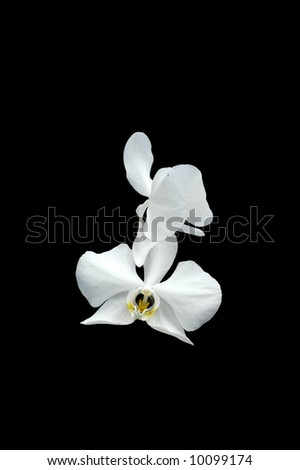 A picture of a single white orchid on a black background