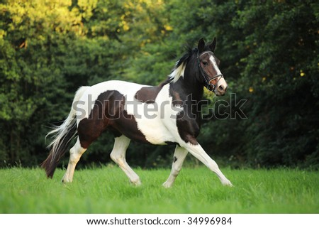 A piebald dutch warmblood mare running free in the pasture.