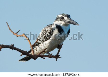 A Pied Kingfisher perched on overhanging branch - stock photo