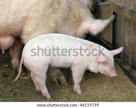 A pig with a piglet