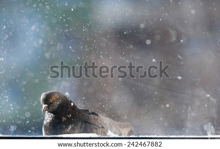 A pigeon sitting outside the window in cold snowy winter - stock photo