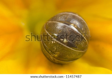 A pill bug rolled up on a yellow flower - stock photo