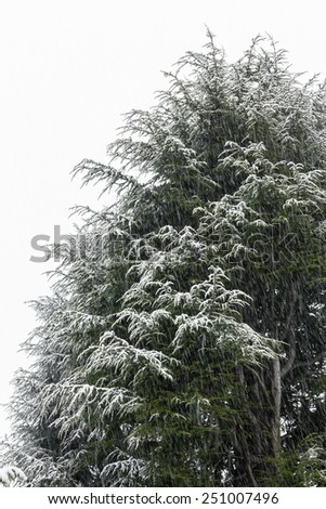 A pine submerged by snow during a heavy snowfall. - stock photo