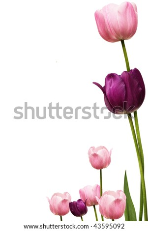 a pink and purple tulip frame - stock photo