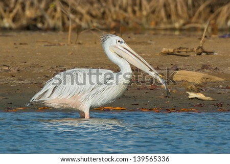 A Pink-Backed Pelican eating a fish