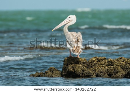 A Pink-Backed Pelican looking back over its shoulder - stock photo