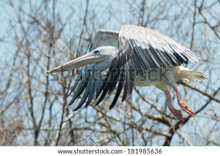 A Pink-backed Pelican (Pelecanus rufescens) in flight through the mangroves