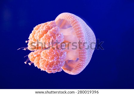 A pink jellyfish swimming in an aquarium - stock photo
