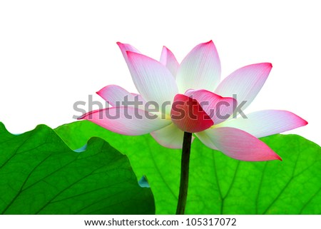a pink lotus flower against foliage in isolation