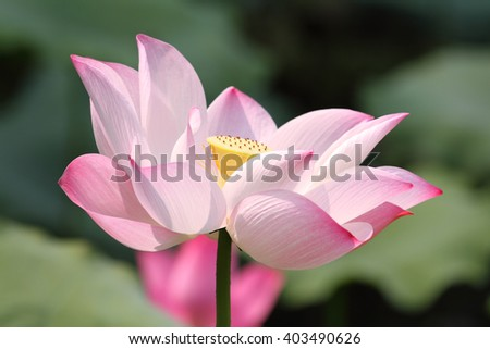 a pink lotus flower blossom - stock photo