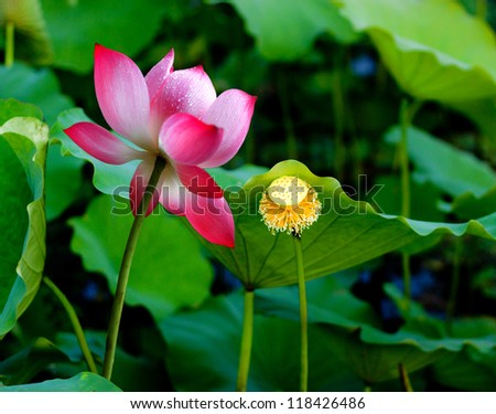 a pink lotus flower, vietnam's flower #2 - stock photo