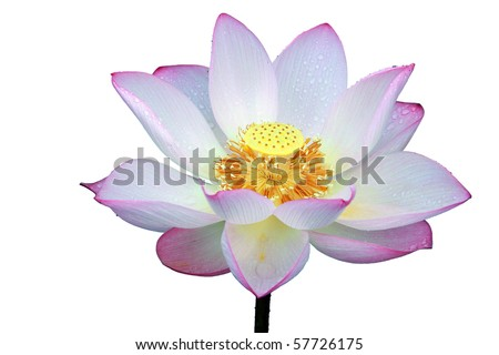 a pink lotus flowers in blossom - stock photo