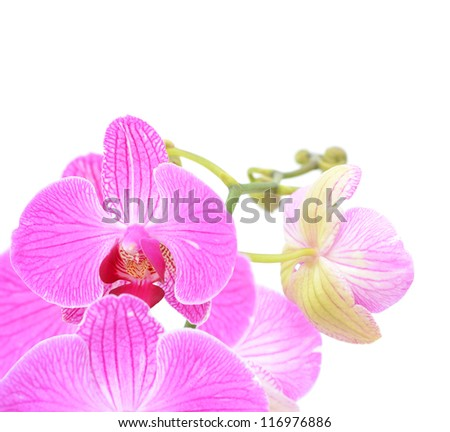 A pink orchid blooming