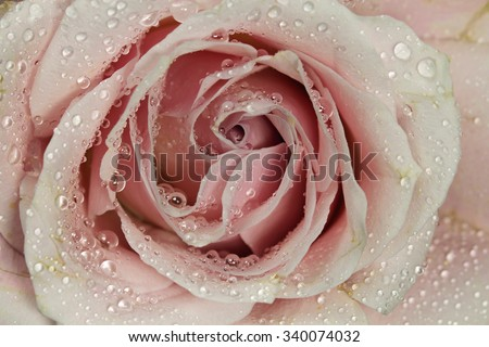 A pink Rose with water drops. - stock photo