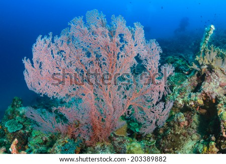 A Pink sea fan coral on a tropical reef - stock photo