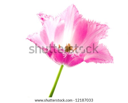 A pink tulip flower isolated on white background