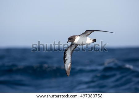 A Pintado Petrel (Daption capense) also known as Cape Petrel or Cape Pigeon, in flight, over a blurred background of the sea and sky.