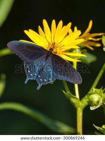A Pipevine Swallowtail (Battus philenor) nectaring on a yellow flower - stock photo