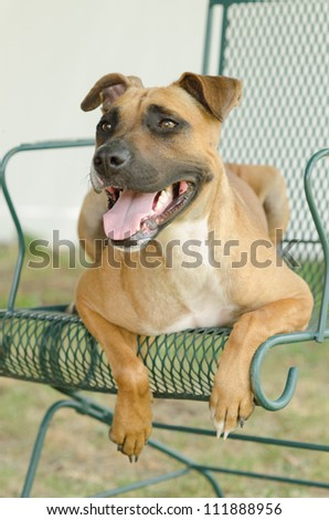 A Pit Bull mix relaxes in a chair in the shade.