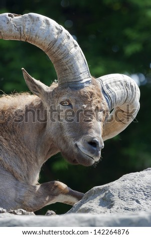 A pixyish look of a mountain goat male - stock photo