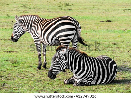 A plains zebra rests as the other looks out for danger in Kenya's Masai Mara Game Reserve. A Plains zebra is also known as the common zebra or Burchell's Zebra. - stock photo