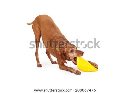 A playful adult Vizsla breed dog picking up a yellow frisbee with her teeth - stock photo