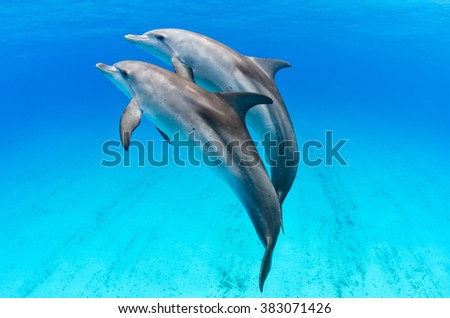 A playful dolphin duo in the seas of the Bahamas - stock photo