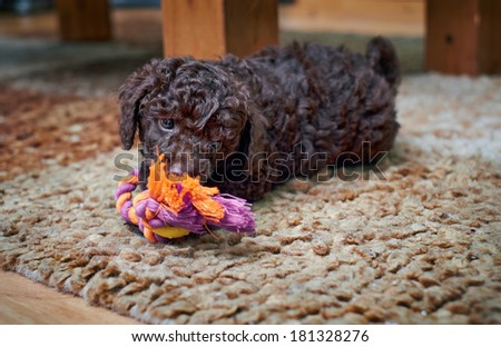 A playful miniature poodle puppy with a rope chew. - stock photo