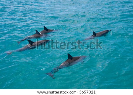 A pod of wild Spinner Dolphins observed on the West coast of Oahu - stock photo