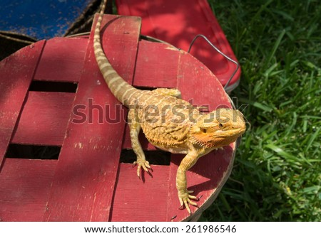A pogona, also called a bearded dragon. This type of lizard is native to Australia and is sometimes kept as a pet.  - stock photo