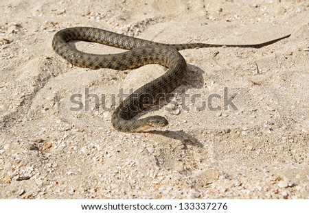A poisonous snake slithering on shelly soil