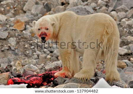 A polar bear eats a freshly caught barbed seal in a fjord, Svalvard, Norway. It took a quick pause to look into the camera while eating. This was in late August. - stock photo