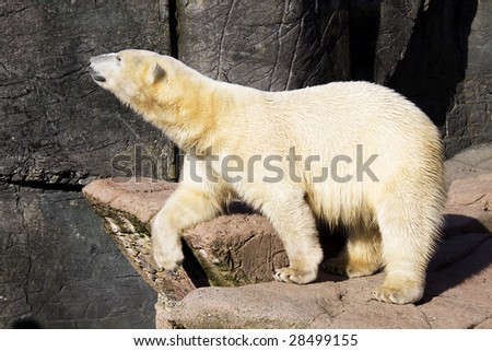 "A polar bear is laying on the rocks, one of his ""legs"" his resting on a rock. The pose looks almost human - stock photo"