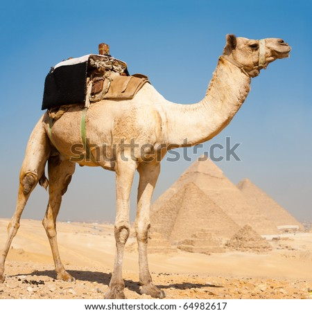 A police camel waits patiently atop a hill overlooking all the pyramids of Giza, Egypt - stock photo