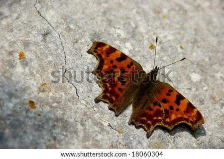 A polygonia c-album resting on a wall