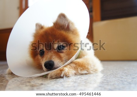 A pomeranian with a space collar