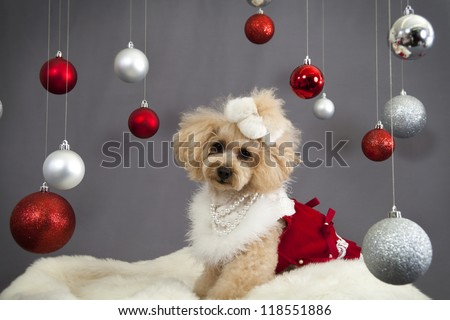 a poodle dressed in a christmas costume surrounded by christmas ornaments on a white fur rug - stock photo